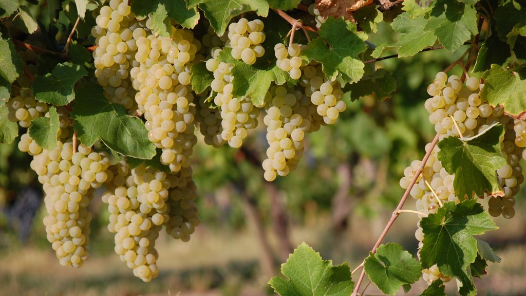 Foto di vigneto di uva spergola